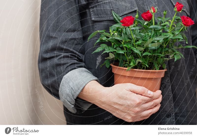 Close-up of bright red flowers in a pot in hands of professional florist. rose woman house plant floral store work female home garden business indoor botanical