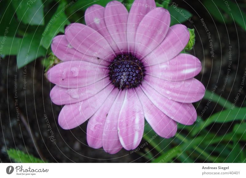Nature Water Beautiful Flower Blossom Garden Pink Drops of water Wet Violet Delicate