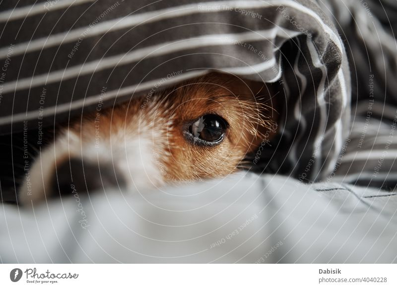 Pet under blanket in bed. Portrait of sad dog warms in cold weather pet eyes muzzle sick mood atmospheric nose freeze look cute puppy animal funny cozy happy