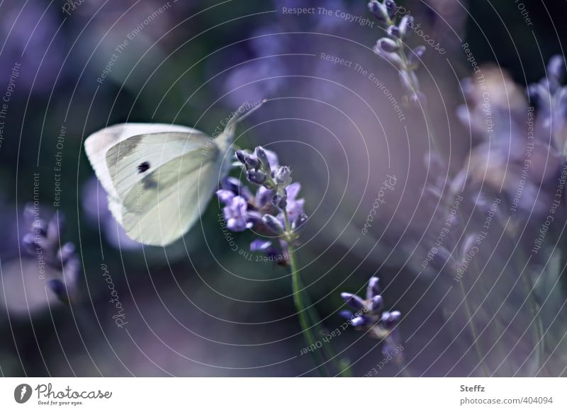 violet mood of the afternoon Lavender lavender blossom Violet flowering lavender lavender scent medicinal plant purple flowers afternoon light Ease Butterfly