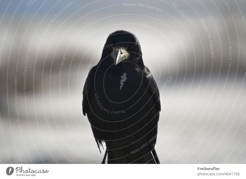 Raven purposely poses for the photographer animal animals avian beak beautiful bird bird watching black blackbird claw close close up closeup colorful colour