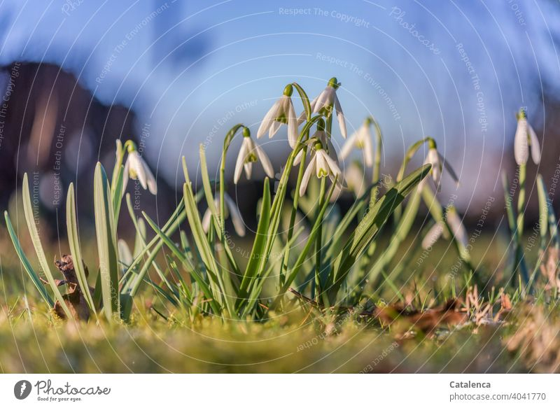 Snowdrops on a sunny, warm spring day Nature flora Plant Flower Blossom Leaf Spring Season Anticipation Sky Day daylight Garden Green Blue White blossom fade