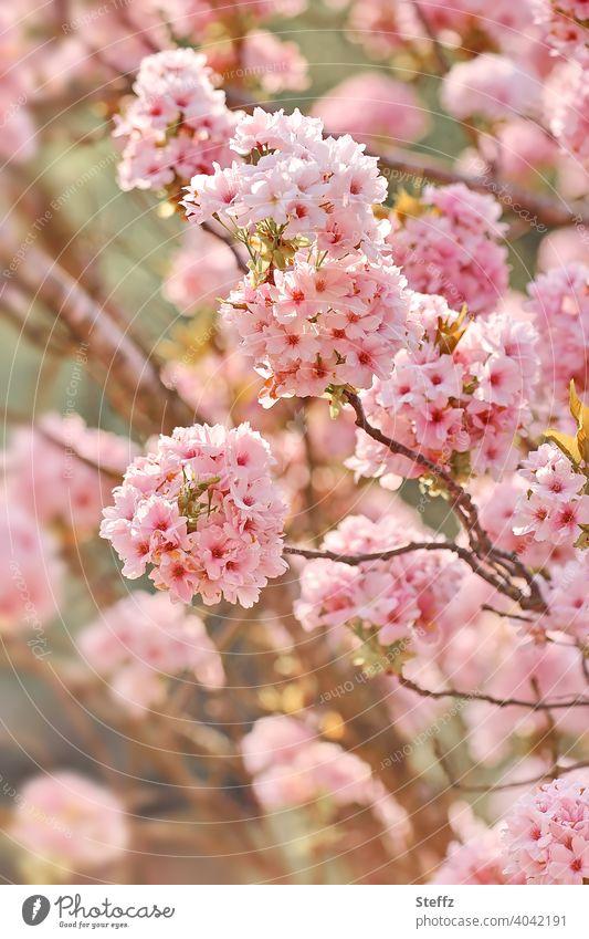 Ornamental cherry in full bloom Pillar Cherry flowering cherry prunus Japanese flower cherry blossoming tree blossom Cherry blossom spring blossoms heyday April