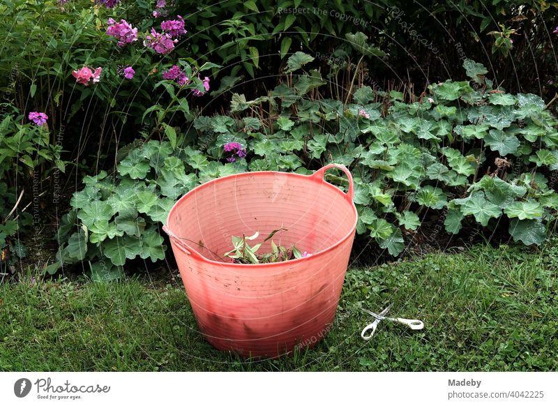 Red bucket made of transparent plastic with garden waste and scissors in a farm garden in Rudersau near Rottenbuch in the district of Weilheim-Schongau in Upper Bavaria