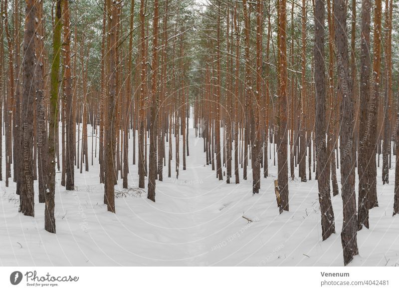 Narrow forest path for hiking in winter in a pine forest, snow-covered forest floor Forest path woods tree trees grass branch branches nature lumbering