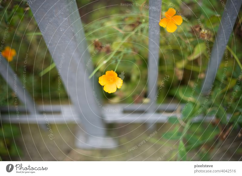 Yellow flower growing through a metal fence Flower Spring Summer Blossom Meadow Garden Plant Nature pink flora penned blossom Field come into bloom Grass