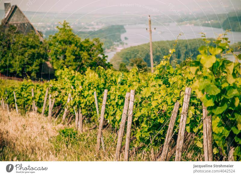 Vineyards with view of the Rhine, Bingen am Rhein, Germany viticulture wine-growing area Bingen on the Rhine Winery Middle Rhine Middle Rhine Valley vines Green