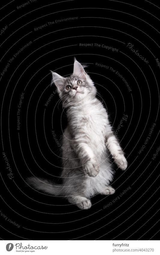 silver maine coon kitten rearing up standing on hind legs looking up on black background cat copy space cut out isolated one animal indoors studio shot