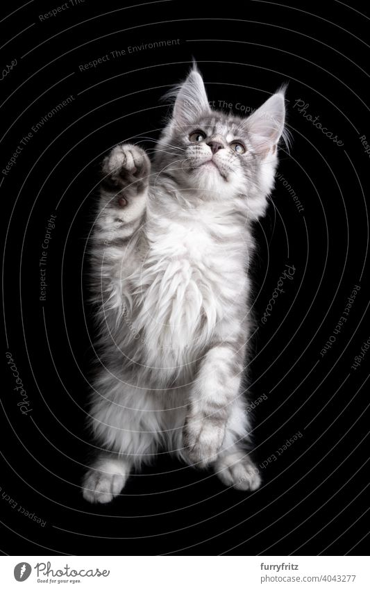 curious silver maine coon kitten playing rearing up on black background cat copy space cut out isolated one animal indoors studio shot purebred cat pets