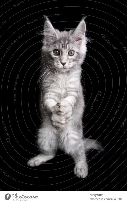 funny maine coon kitten playing clapping or folding hands like a prayer cat black background copy space cut out isolated one animal indoors studio shot