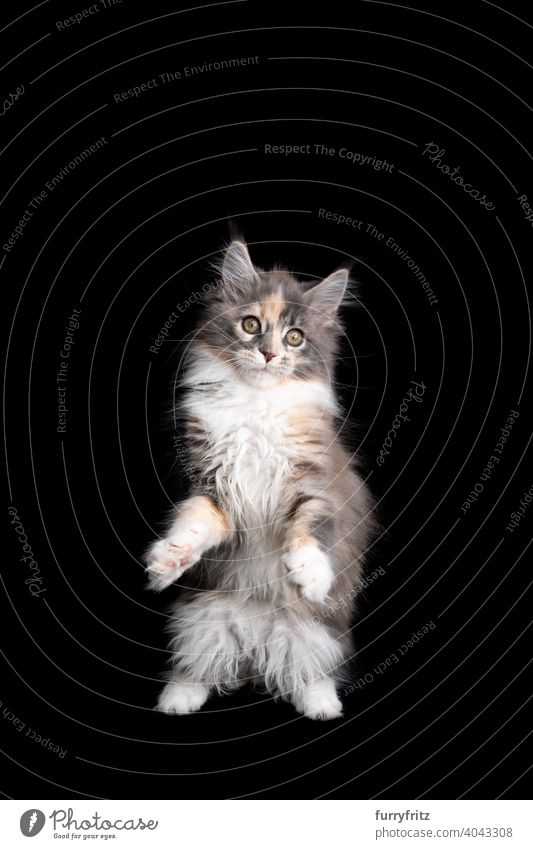 curious calico maine coon kitten standing on hind legs on black background cat copy space cut out isolated one animal indoors studio shot purebred cat pets