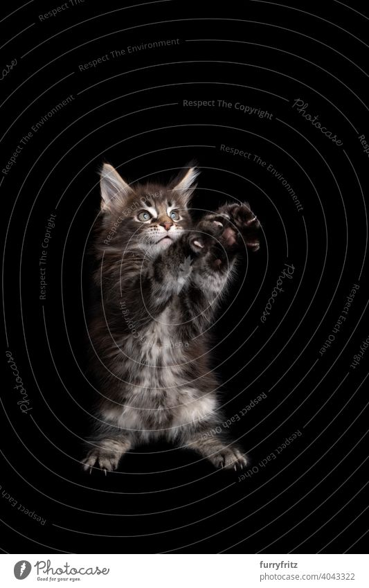 cute maine coon kitten playing standing on hind legs raising both paws on black background cat copy space cut out isolated one animal indoors studio shot