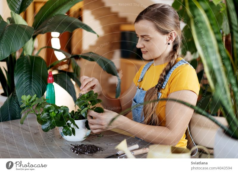 A young woman transplants flowers at home. Spring care for potted flowers. Spring, care, home plants, Home gardening spring home gardening girl work greenery
