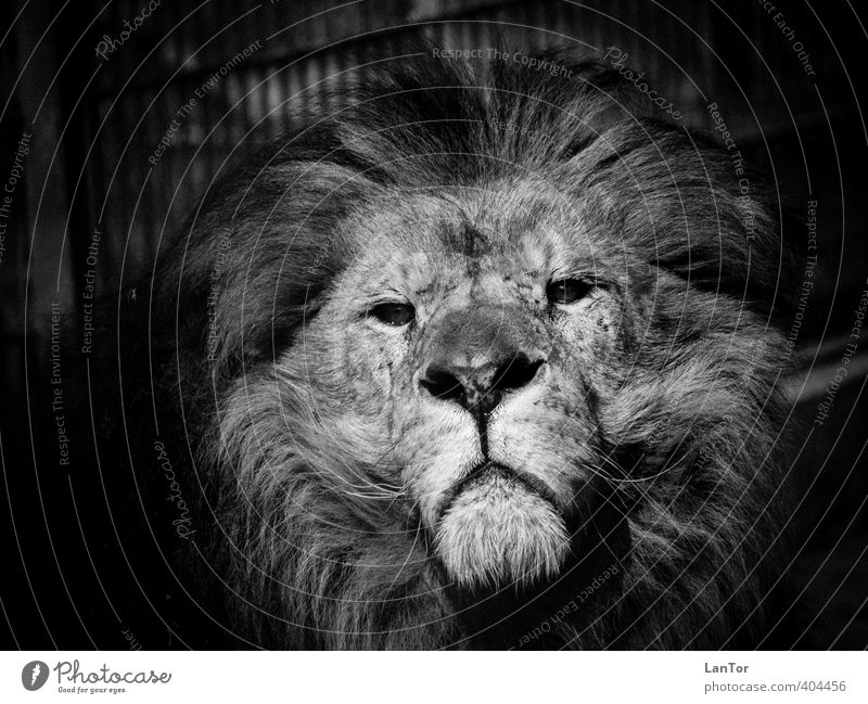 The King Animal Wild animal Animal face Zoo Lion 1 Observe Looking Esthetic Large Power Brave Calm Majestic Might Black & white photo Exterior shot Detail Day