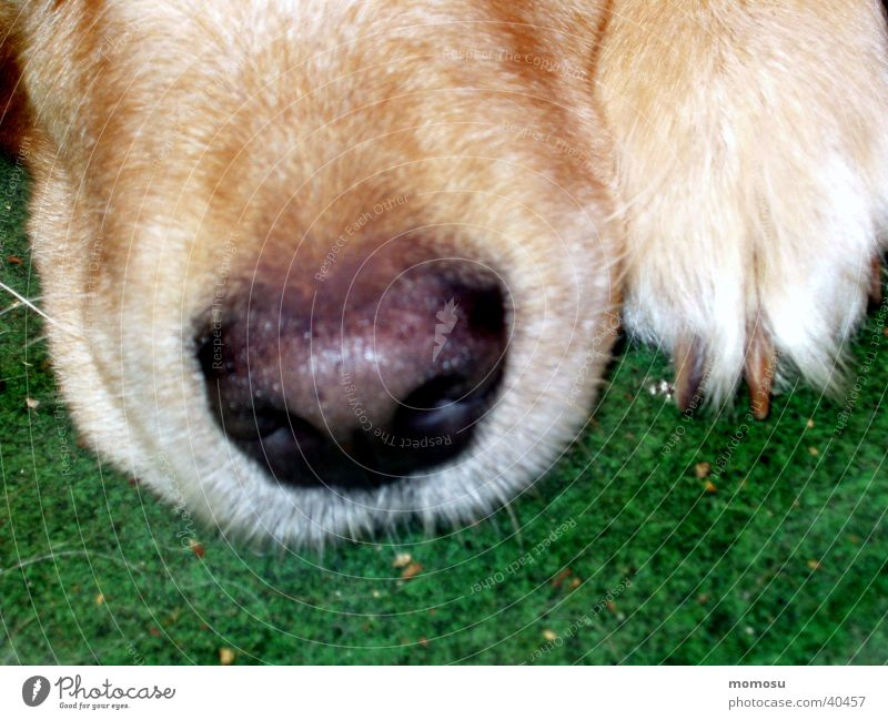 incognito Dog Golden Retriever Snout Detail Nose