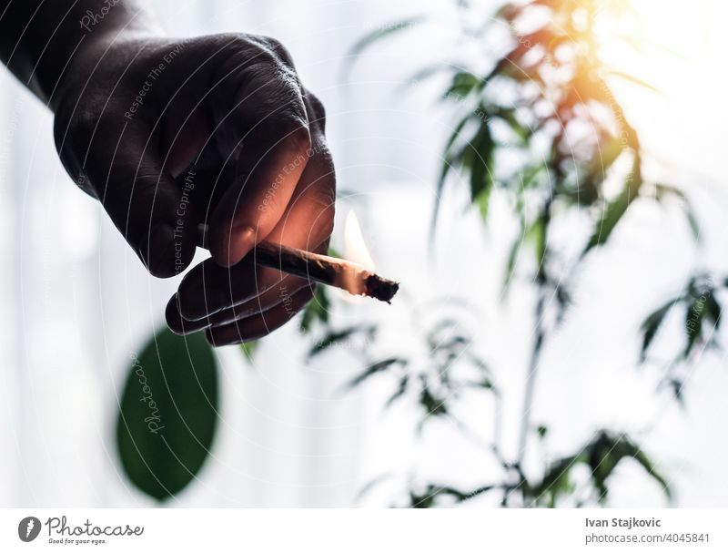 Hand of young Man holding burning Marijuana Joint against Cannabis plant client addiction tobacco abuse man problem person smoke cigarette bad hand lifestyle