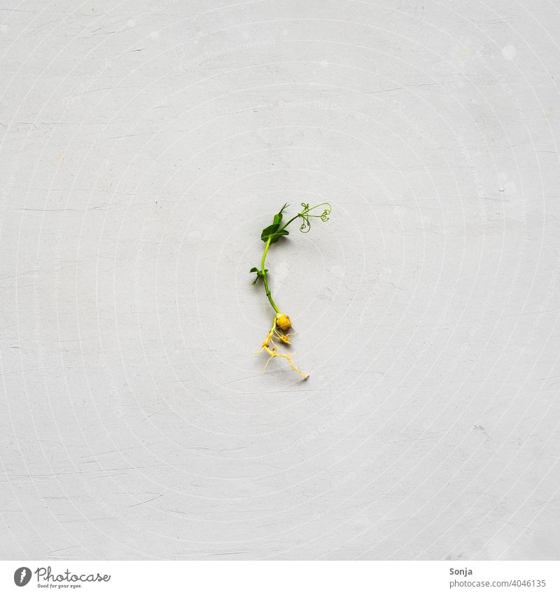 A single pea shoot on a gray background Cress Pea rungs Herbs and spices Food Green Plant Vegetarian diet Fresh Organic produce Growth Interior shot