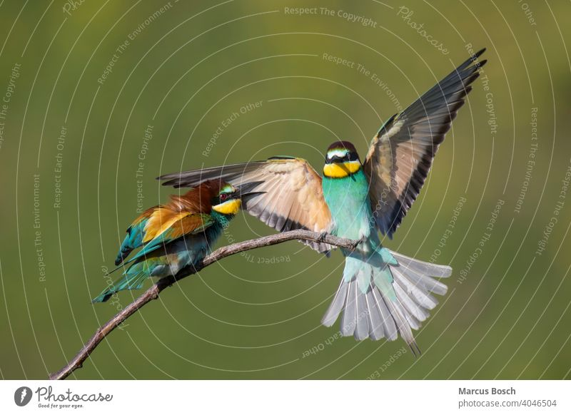 Bienenfresser, Merops apiaster, European bee-eater 2 Bee eater European Bee-eater Voegel Zugvoegel Zugvogel animal animals bird birds branch bunt colored