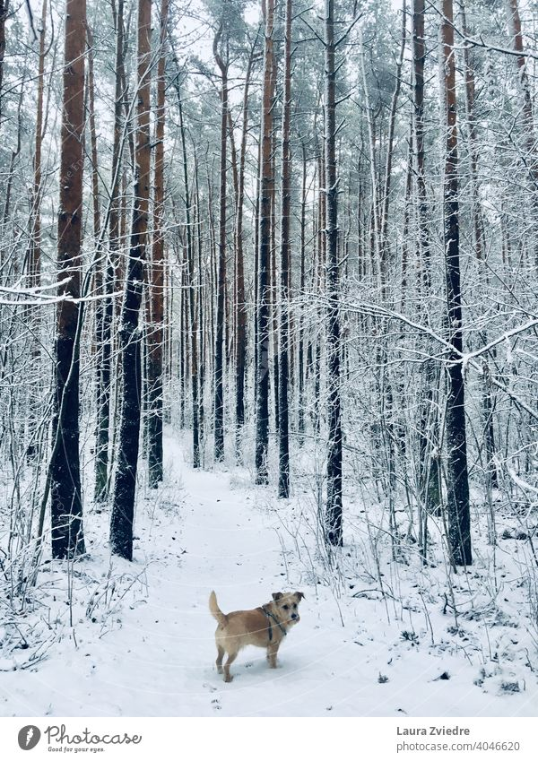Dog in the winter Dog walk Winter Winter mood Snow Exterior shot Walk the dog To go for a walk Colour photo Cold Pet Animal Nature White snowy snowy woods