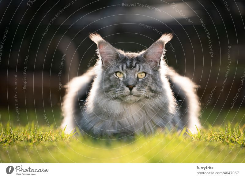 silver tabby maine coon cat resting on lawn in sunlight purebred cat pets outdoors front or backyard garden longhair cat grass green sunny backlight portrait