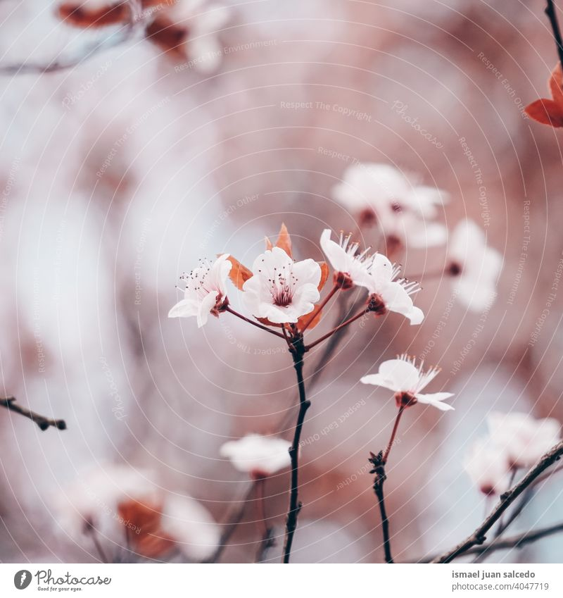 beautiful cherry blossom in spring season, sakura flowers sakura tree pink petals floral nature natural decorative decoration romantic beauty fragility