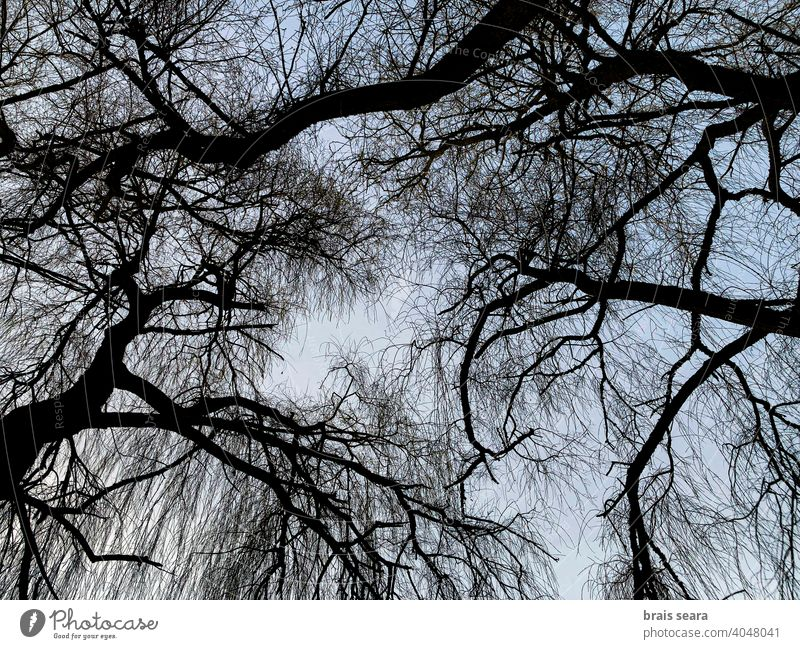 Willow branches silhouette against the sky at dusk tree art background abstract wallpaper environment outdoors wood pattern park landscape sunset nature willow