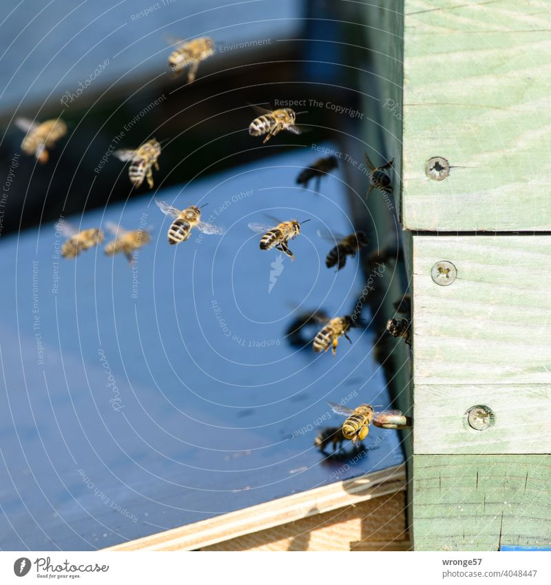 Bees come flying back to their hive from collecting nectar bees Honeybees Nectar collect nectar amass Beehive Prey Bee Hive Spring Summer industrious beekeeping