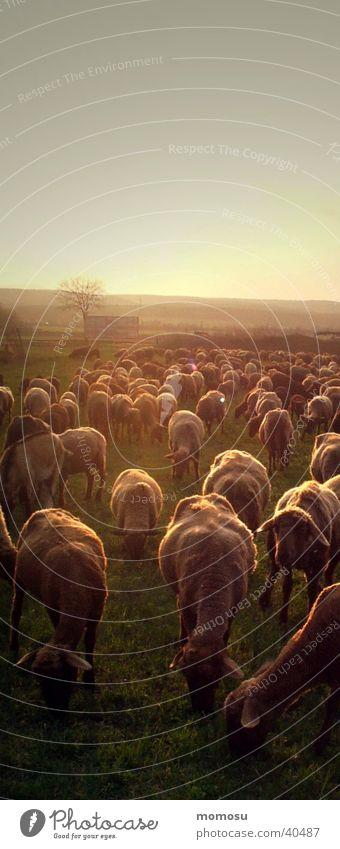 901 sheep Sheep Flock Sunset Dusk Agriculture Transport Multiple