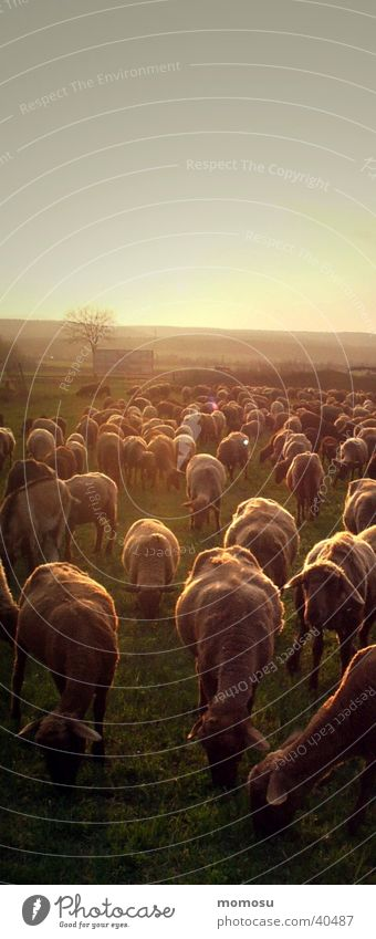 Multiple Transport Agriculture Sheep Dusk Flock