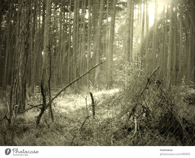 Celtic Forest Moody Wood Celts Mystic