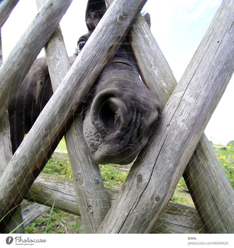 waiting for the carrot animal portrait Fence inquisitorial Meadow Horse lowered head Wooden fence Whimsical Animal face
