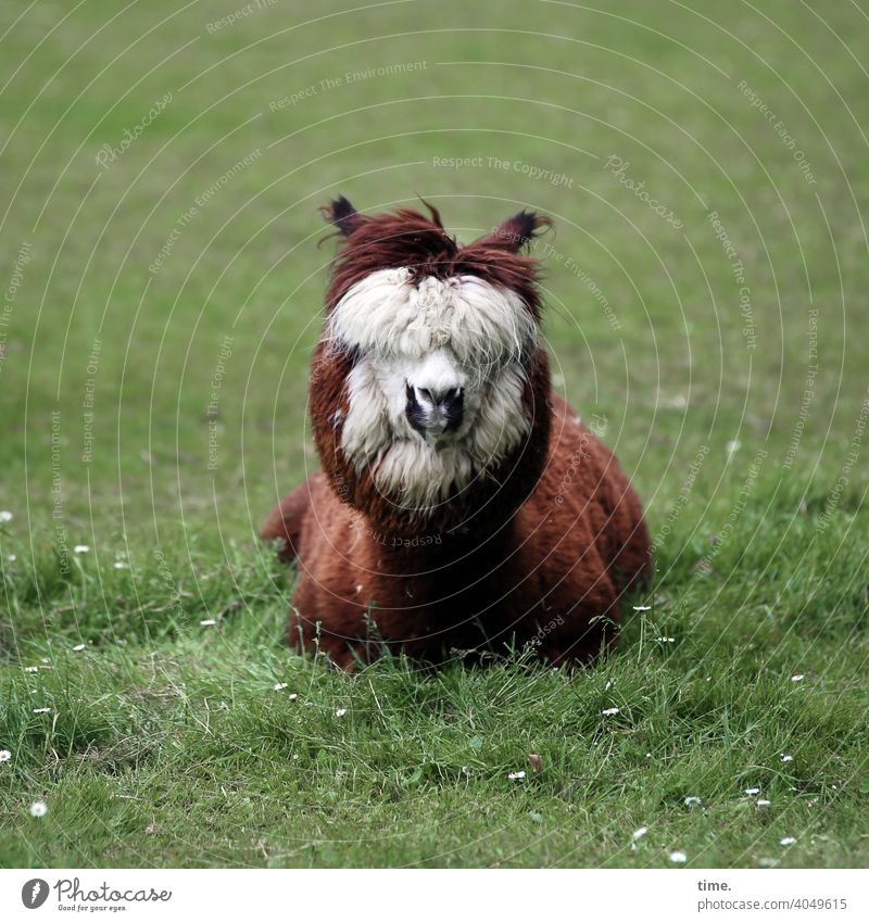 deeply relaxed in the here and now animal portrait inquisitorial Meadow Wooden fence Whimsical Animal face Sit Lie alpaca Snout