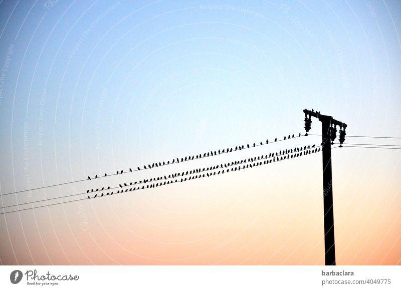 Birds on the line birds Flock of birds power line Sunset sunset Evening Electricity pylon Contour