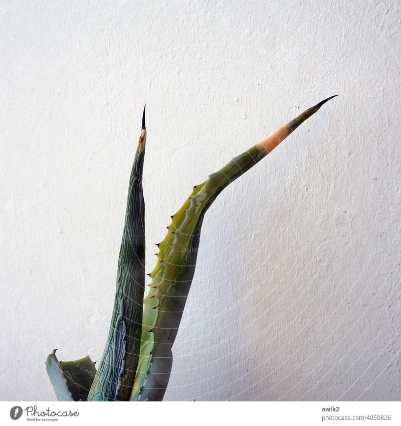 Old agave Agave Detail Exterior shot Thorny Point Firm Exotic Plant Nature Structures and shapes Copy Space right Copy Space left Copy Space top