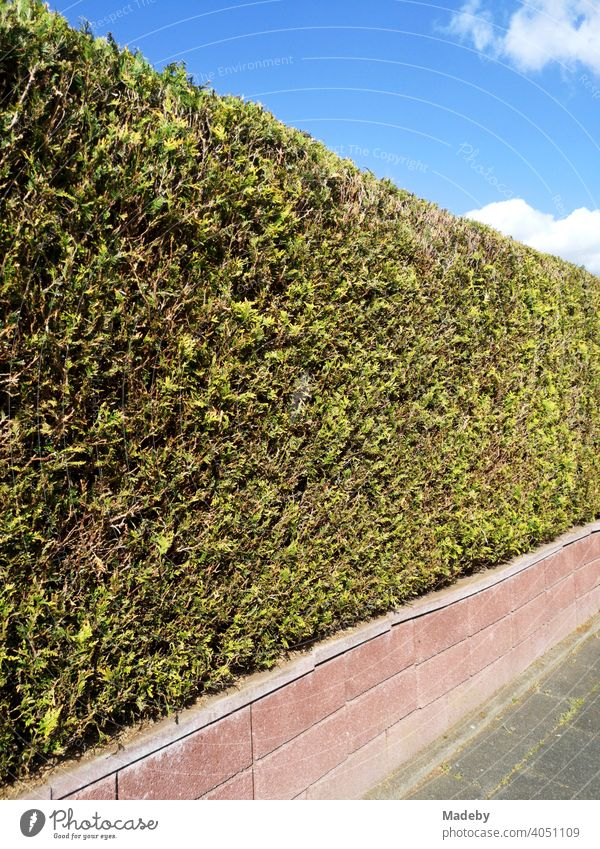 Low wall with accurately cut green hedge in summer sunshine in Oerlinghausen near Bielefeld on the Hermannsweg in the Teutoburg Forest in East Westphalia-Lippe