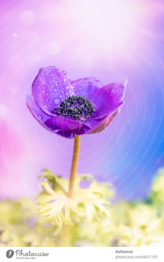 Macro shot of a purple crown anemone Flower Violet Blossom Plant Blossoming Nature Shallow depth of field Garden Close-up Macro (Extreme close-up) Spring
