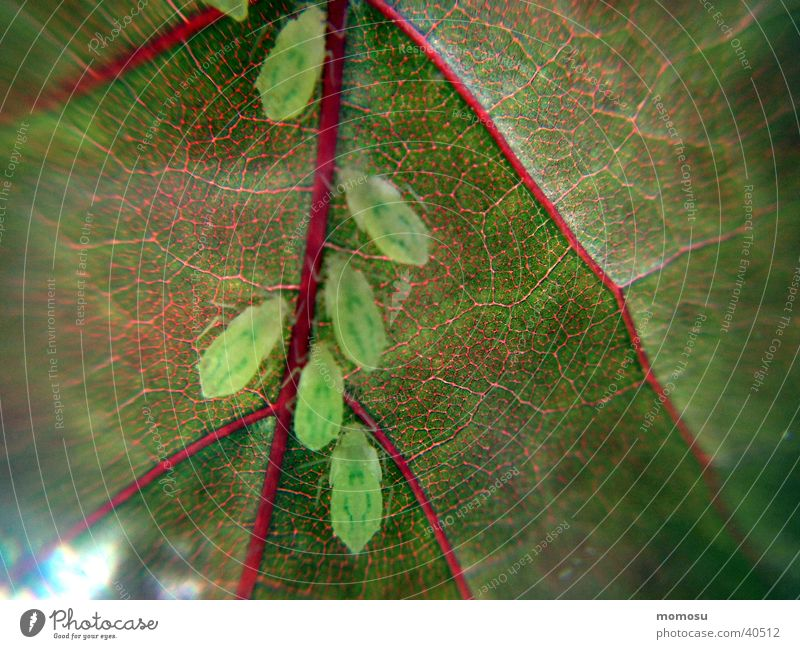 Tree Leaf Pests Isopod