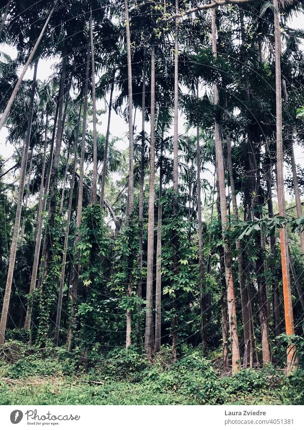 Between the trees Palm tree palm trees tropics Exotic Plant Palm frond Tree Nature Leaf Wood Tropical tropical climate Beautiful weather Summer no people