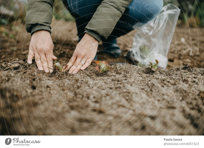 Close up woman hands gardening Close-up Gardening Lettuce Organic produce Organic farming Farm Food agriculture Colour photo food Vegetarian diet Vegetable