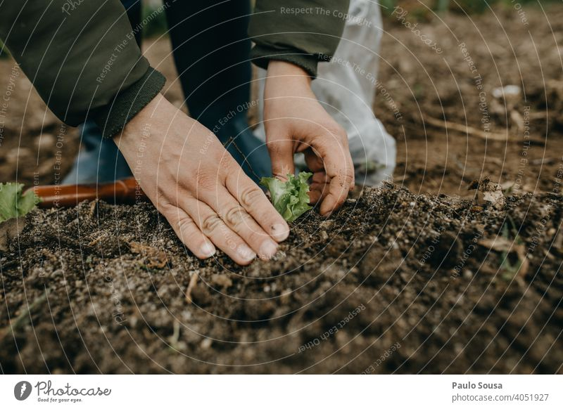Close up woman hands planting lettuce Close-up Hand Garden Gardening Lettuce Plant plants work spring growth gardening hobby nature green Organic produce