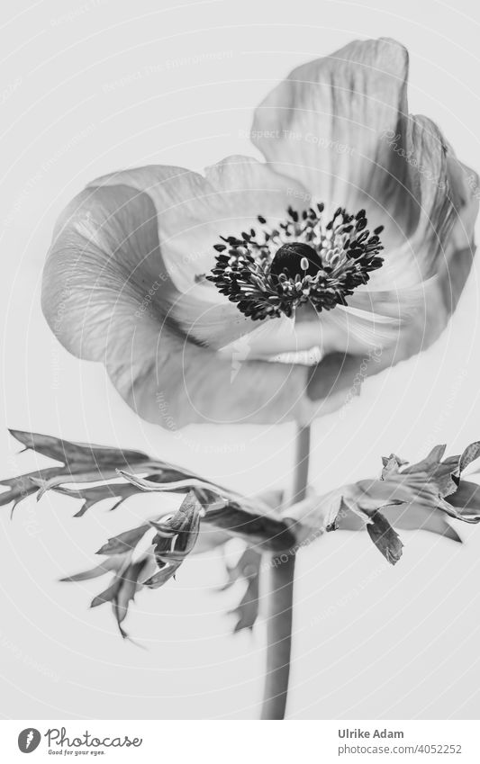 Anemone all big in black and white Delicate anemone Anemone coronaria Crown Anemone Elegant Design Wellness Harmonious Contentment Relaxation Meditation Calm