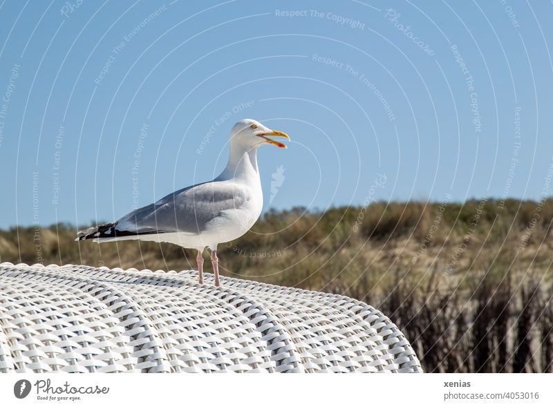If a seagull stands on a white beach chair in beautiful weather with blue sky and screams for holiday Seagull Bird Beach chair Beautiful weather vacation