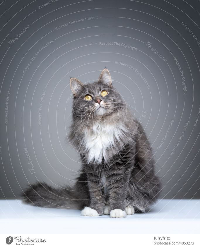 blue tabby maine coon cat on gray background with copy space one animal indoors studio shot fluffy fur feline purebred cat pets longhair cat white portrait