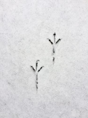 Delicate bird tracks in the snow Animal tracks footprints footprints in the snow Bird's claws Tracks Snow Winter Cold White Footprint Exterior shot