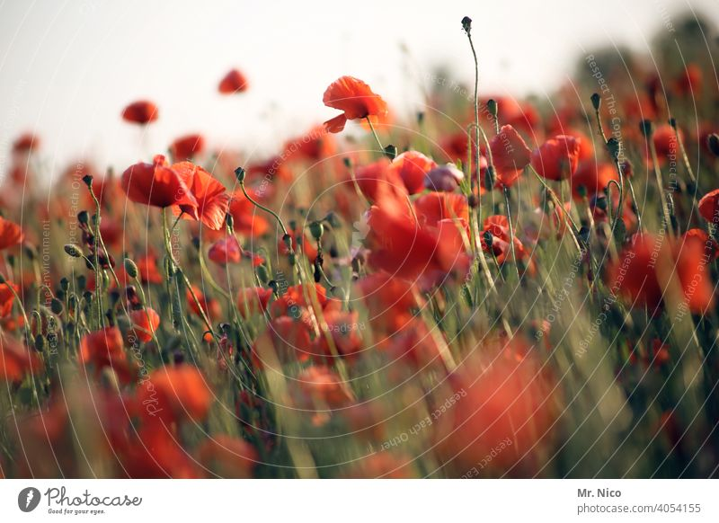 field of gossip poppies Landscape Growth Blossom Red Wild plant Poppy field Corn poppy Poppy blossom Illuminate Agricultural crop Intensive Idyll Summery Plant