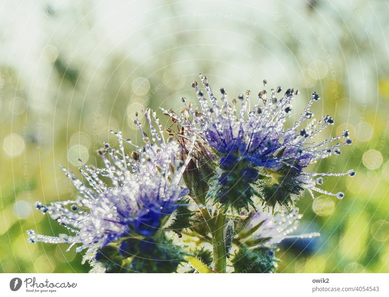 Iridescent Flower Blossom Nature Delicate Blossoming Morning Environment Contrast Long shot Sunlight Detail Deserted Copy Space top Close-up Exterior shot