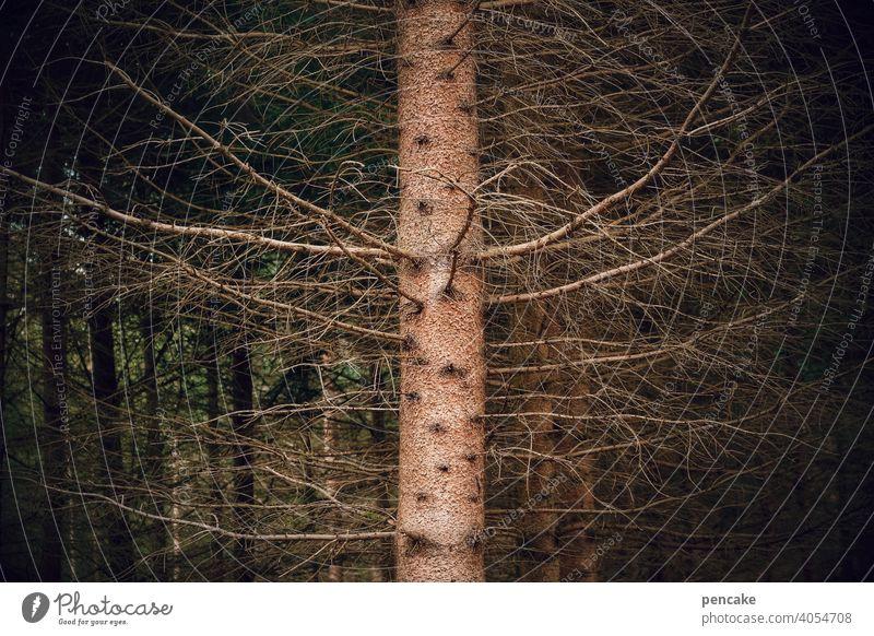 ungesund | leerstand Fichte Baumstamm Trockenheit Wassermangel abgestorben Waldsterben Klimakrise Umwelt Klimawandel Äste Tod vergänglich Natur Leerstand