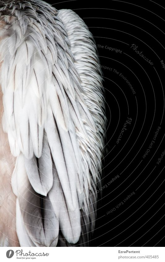 spring-loaded Environment Nature Animal Wild animal Bird Wing 1 Esthetic Exotic Natural Beautiful Black White Structures and shapes Feather Pelican Calm Soft