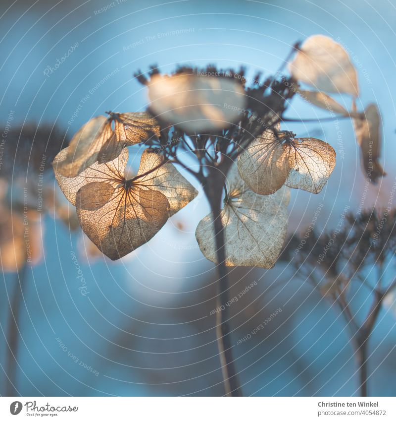 withered and dried hydrangea blossoms in backlight with weak depth of field and blue background Light brown Brown Hydrangea blossom chill Transience Shriveled