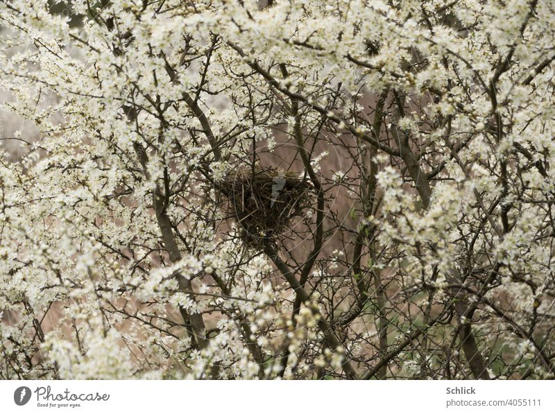 Love nest bird nest in spring with many flowers of blackthorn Spring love's nest bird's nest Nest blossoms Many Blackthorn Uninhabited Empty April Season Nature